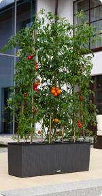 Tomate im LECHUZA-TRIO
