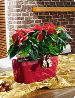 Pflegetipps für Weihnachtsstern in LECHUZA Pflanzgefäßen